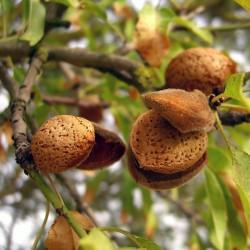 Sweet Almond Seeds (Prunus amygdalus)  - 2