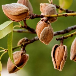 Graines de AMANDE DOUCE (Prunus amygdalus)  - 3
