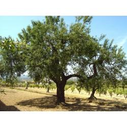Sweet Almond Seeds (Prunus amygdalus)  - 4