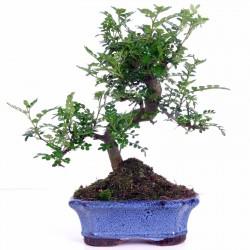 Japanischer Pfeffer Samen (Zanthoxylum piperitum)  - 3