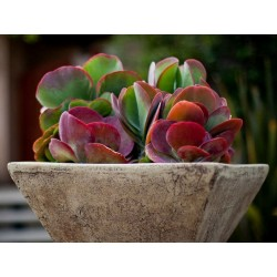 Paddle Plant, Flapjacks, Desert Cabbage Seeds  - 3