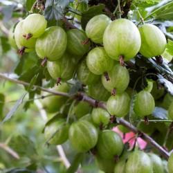 Beli Ogrozd Seme (Ribes uva-crispa)  - 2