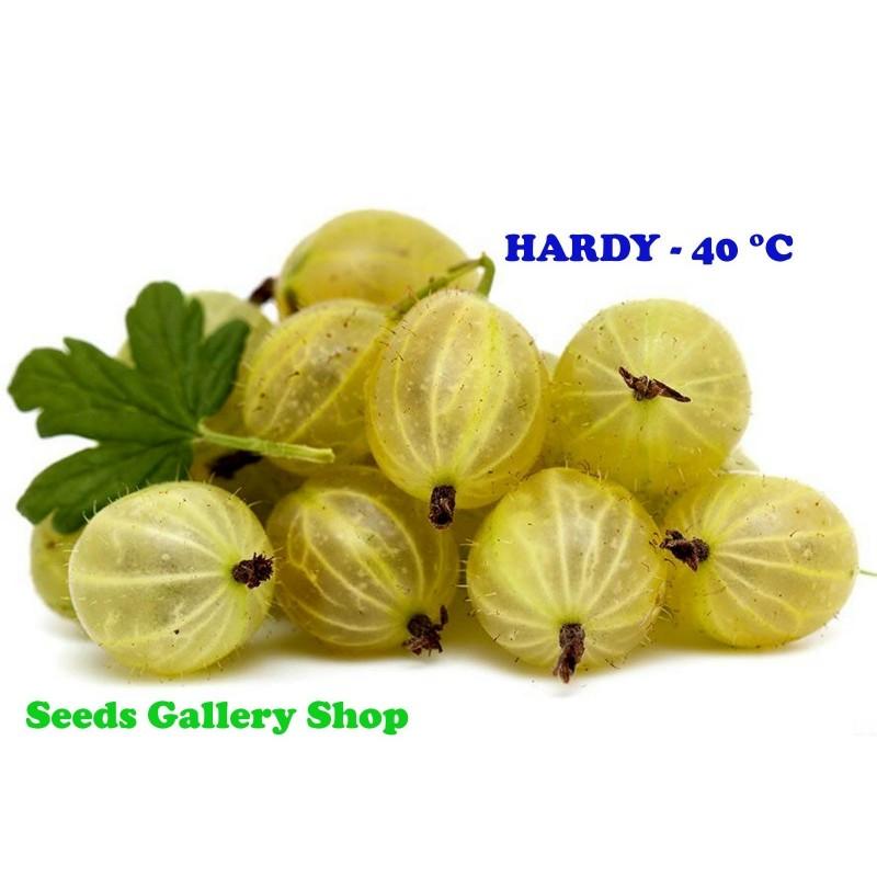 Beli Ogrozd Seme (Ribes uva-crispa)  - 3