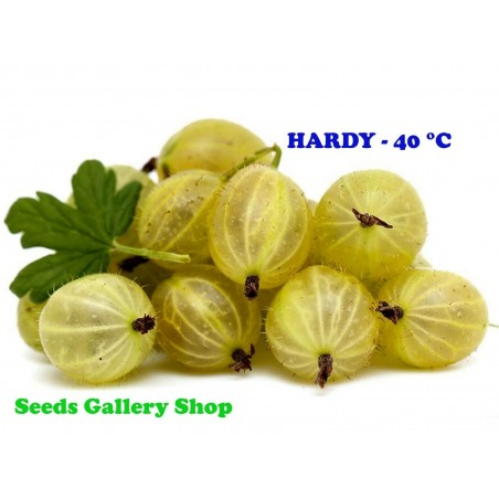 Semillas de Grosella Espinosa Blanco (Ribes uva-crispa)