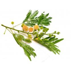 Miracle Tree, River Tamarind Seeds (Leucaena leucocephala)  - 1