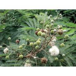 Miracle Tree, River Tamarind Seeds (Leucaena leucocephala)  - 3