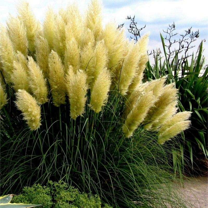 Grass Pampas White Seeds (Cortaderia Selloana)  - 4