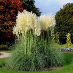 Grass Pampas White Seeds (Cortaderia Selloana)  - 3