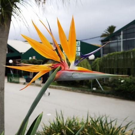 Orange Bird of Paradise Flower Seeds (Strelitzia reginae)