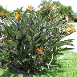 Стрели́тция короле́вская семена (Strelitzia reginae)  - 3