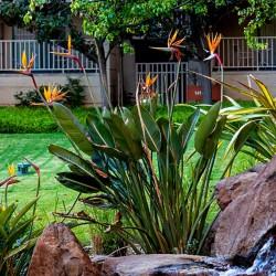 Rajska Ptica Seme (Strelitzia reginae)  - 4