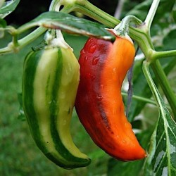 FISH Hot Chilli Pepper Seeds Seeds Gallery - 5