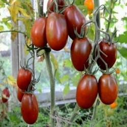 Black Plum Tomato Seeds Seeds Gallery - 4