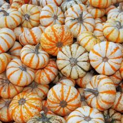 LIL' PUMP-KE-MON Pumpkin Seeds Seeds Gallery - 3