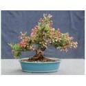 Σπόροι ινδικό ριβήσιο (Phyllanthus Emblica)
