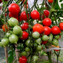 Томатов Geranium Kiss - Поцелуй герани семена Seeds Gallery - 4