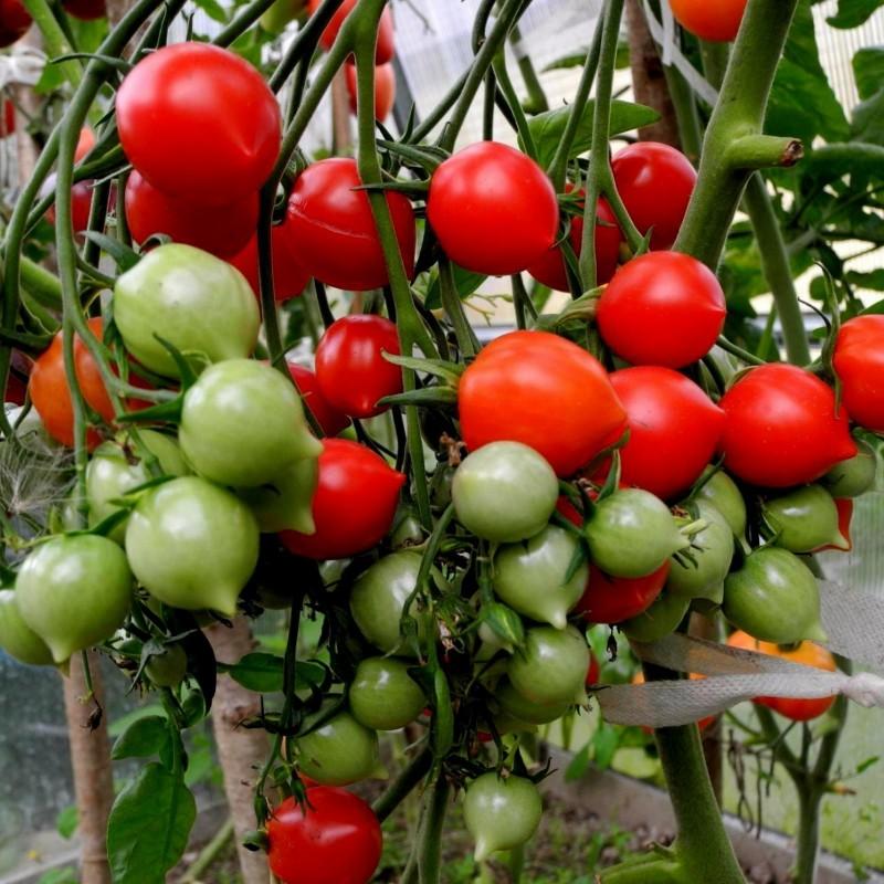Semillas de tomate GERANIUM KISS Seeds Gallery - 4