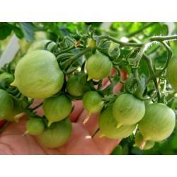 GERANIUM KISS Tomato Seeds Seeds Gallery - 2