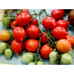 GERANIUM KISS Tomatensamen Seeds Gallery - 3