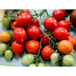Ντομάτα σπόρος GERANIUM KISS Seeds Gallery - 3