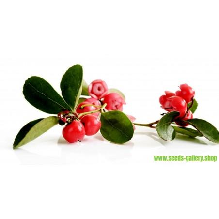 Semi di Gaultheria (Gaultheria procumbens)