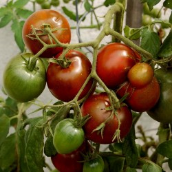 Black Prince Tomato Seeds Organically Grown  - 3