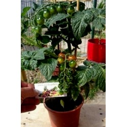 CANDYTOM Cherry Tomato Seeds Seeds Gallery - 1