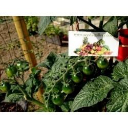 CANDYTOM Ντομάτα σπόρος Seeds Gallery - 2