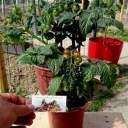 CANDYTOM Tomatensamen - Ideal für wohnung Seeds Gallery - 3