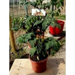 CANDYTOM Cherry Tomato Seeds Seeds Gallery - 4