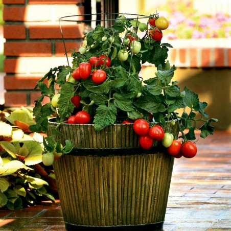 CANDYTOM Tomatensamen - Ideal für wohnung