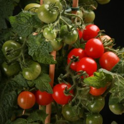 CANDYTOM Cherry Tomato Seeds Seeds Gallery - 5