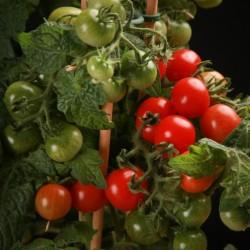 Tomatfrön CANDYTOM Seeds Gallery - 5