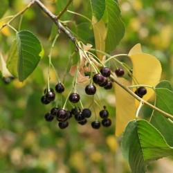 RASELJKA, MAGRIVA, TURSKA VISNJA, MAGINJA Seme (Prunus mahaleb)  - 6