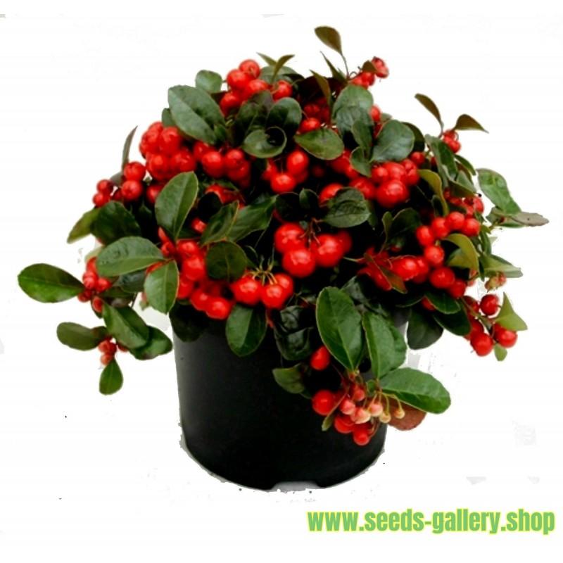 Σπόροι Gaultheria procumbens