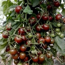 Schwarze Kirsch Tomaten Samen - Black Cherry Seeds Gallery - 3