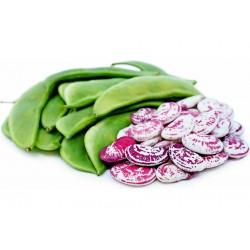 Giant Christmas Lima beans...