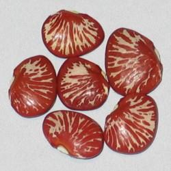 Бобов фасоль ли́мская Пинг Зебра семена  - 4