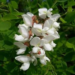 White Wisteria Seeds (Robinia pseudoacacia)  - 2