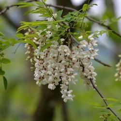 Semi di Robinia o Acacia (Robinia pseudoacacia)  - 3