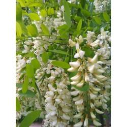 Σπόροι Ροβίνια η ψευδοακακία (Robinia pseudoacacia)  - 4