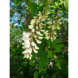 White Wisteria Seeds (Robinia pseudoacacia)  - 5