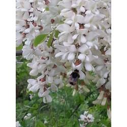 Σπόροι Ροβίνια η ψευδοακακία (Robinia pseudoacacia)  - 6