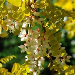 Σπόροι Ροβίνια η ψευδοακακία (Robinia pseudoacacia)  - 7