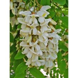 Σπόροι Ροβίνια η ψευδοακακία (Robinia pseudoacacia)  - 8