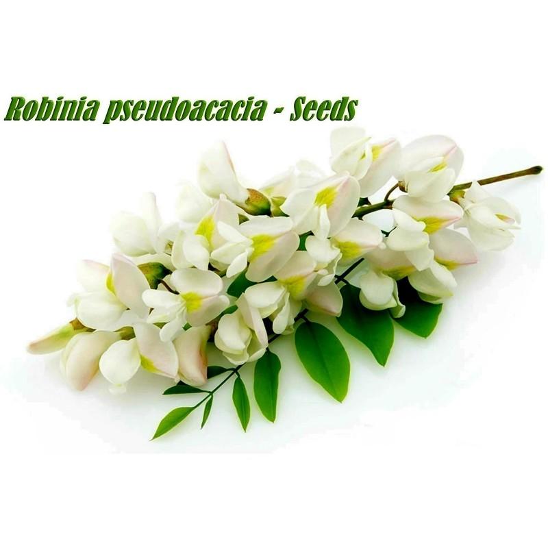 Σπόροι Ροβίνια η ψευδοακακία (Robinia pseudoacacia)  - 9