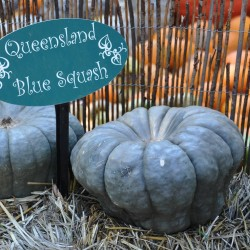 Semi di Zucca Queensland Blue Seeds Gallery - 4