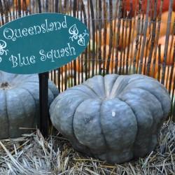 Σπόροι κολοκύθας Queensland Blue Seeds Gallery - 4