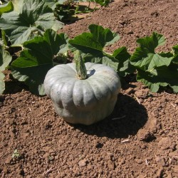 Pumpkin seeds Queensland Blue Seeds Gallery - 5