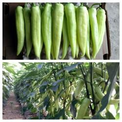 Semillas de pimiento DZINKA Serbia variedad  - 1